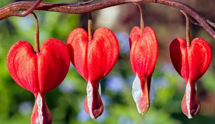 La planta Corazón sangrante llama la atención por su forma y color