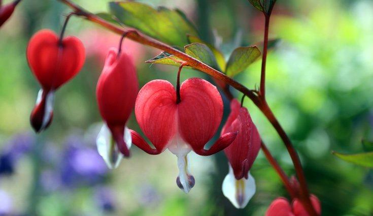 Florecen desde mediados de primavera hasta principios de verano