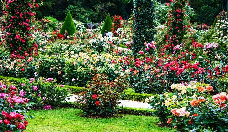 Los rosales modernos son el grupo que con mayor facilidad se pueden encontrar en las floristerías