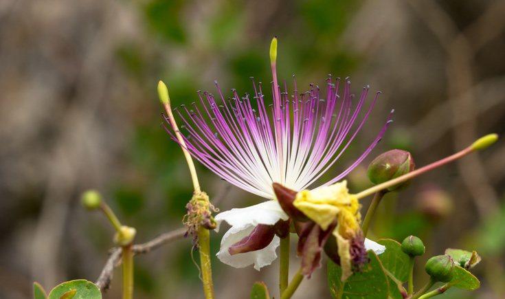 La alcaparra es una de las plantas tapizares más conocidas