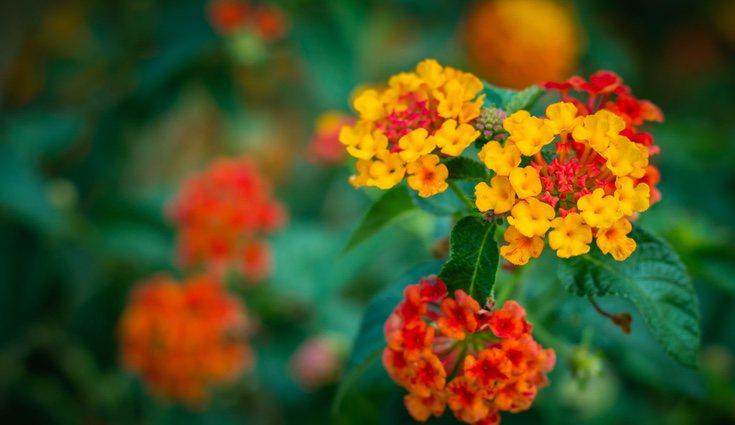 La verbena tiene unas flores muy abundantes y con una variedad de colores inmensa
