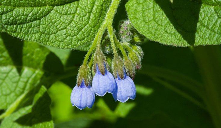 La consuelda tiene una flor muy sencilla pero muy elegante