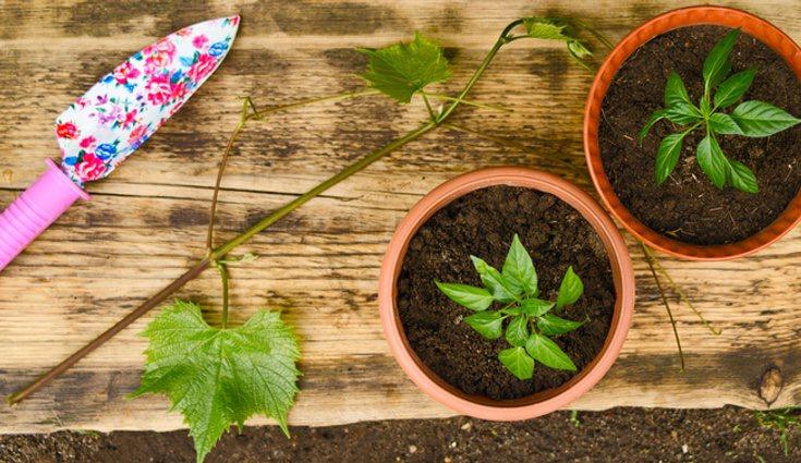 Es necesario cambiar la planta de maceta para su correcto crecimiento