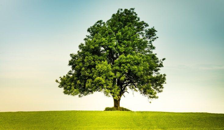 El fresno es un árbol empleado frecuentemente en jardinería y decoración