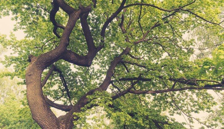 Los robles son especies muy altas robustas y con troncos muy gruesos
