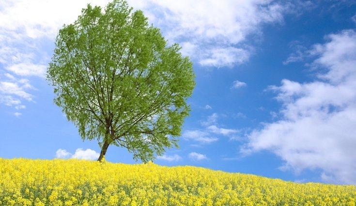 Los álamos son uno de los árbole más codiciados para hacer papel