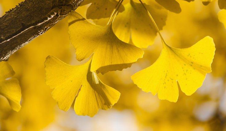 Sus hojas se parecen a los abanicos tradicionales de China