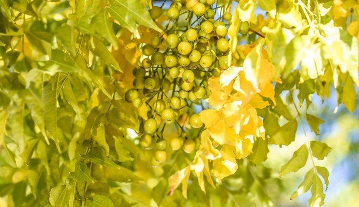 Es muy característico por su hojas aromáticas