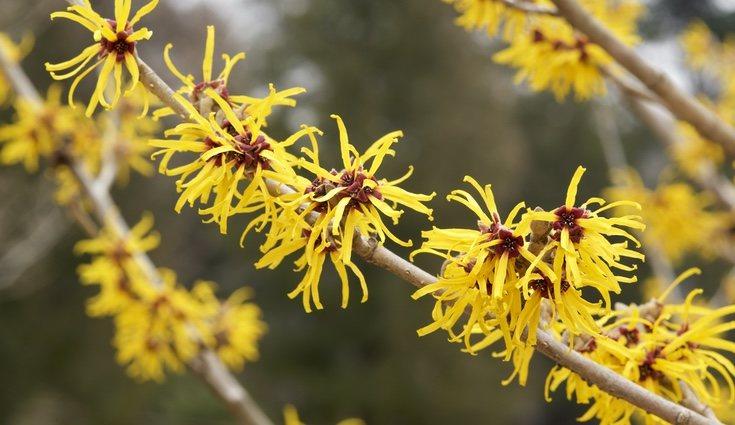 Sus flores permanecen después de que se caigan las hojas