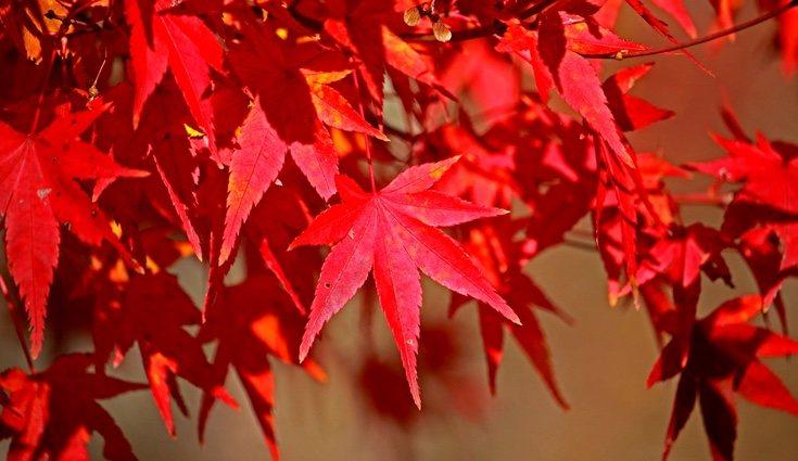 Las hojas del roble americano se tieñen en otoño de un rojo intenso