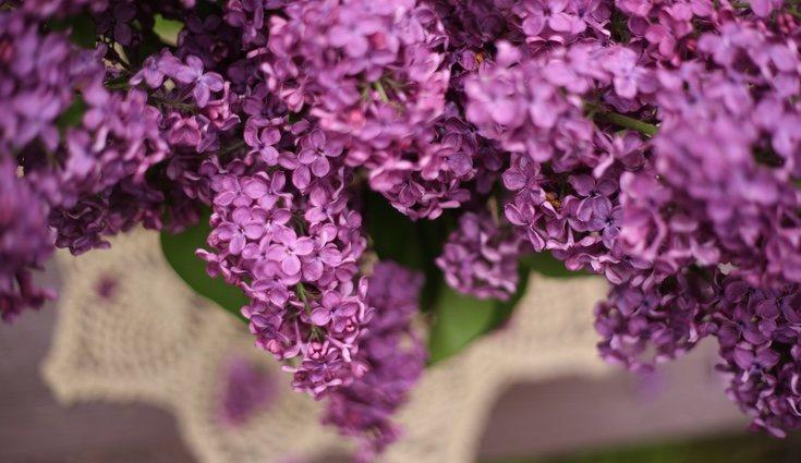 El aroma de las lilas es muy intenso y fácilmente reconocible