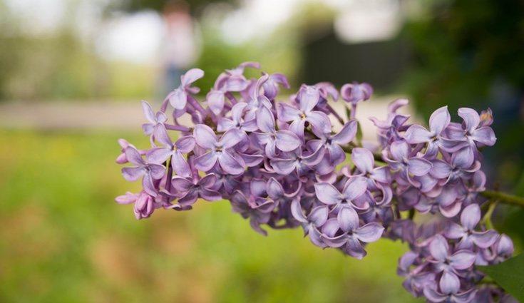 Las propiedades medicinales de las lilas son muy variadas, por ejemplo, se pueden utilizar en infusión