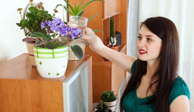 Las lilas deben ser regadas con frecuencia en las estaciones más secas