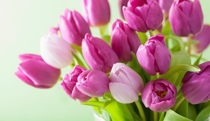 Los tulipanes proceden de Asia, aunque sea la planta nacional de Holanda