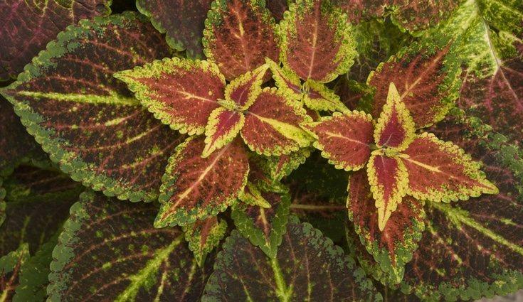 Los coleos tienen grandes hojas de colores llamativos