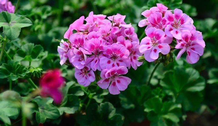 Los geranios pueden plantarse tanto en exterior como en interior