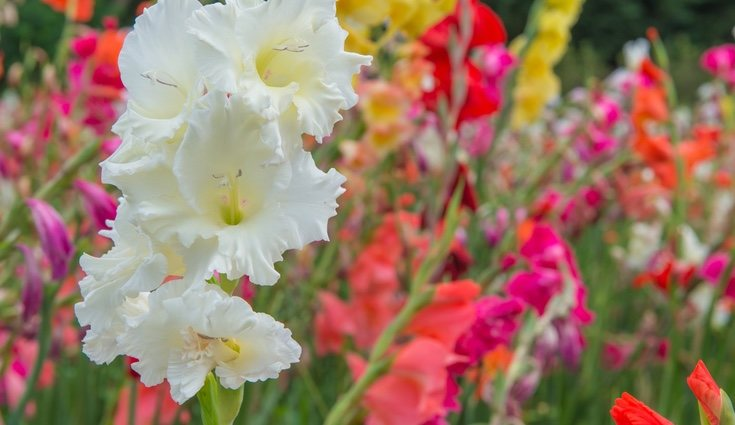 Los gladiolos se deben plantar en suelos bien dreandos