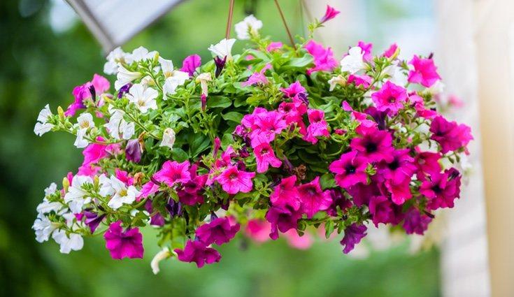Las petunias son muy frecuentes por su fácil cultivo