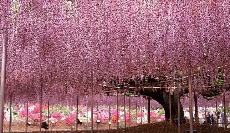 La wisteria, una de las plantas más famosas y más usadas