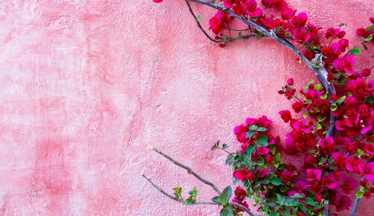 Buganvilla, una preciosa planta que puede medir hasta 10 metros