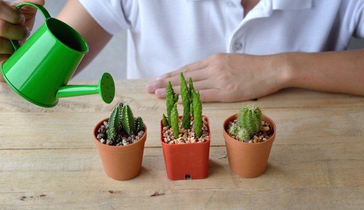 Basta con que riegues los cactus una vez que la tierra esté seca