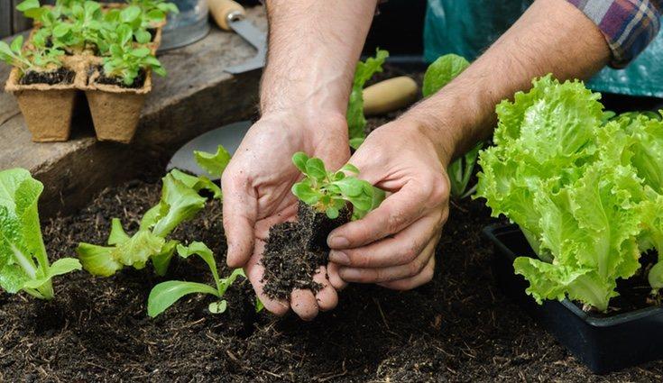 Puedes optar por plantarla directamente en el suelo