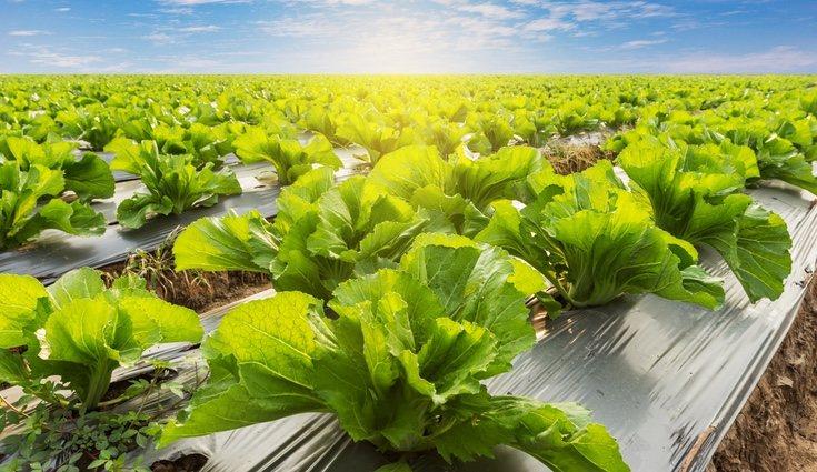 Es recomendable plantar la lechuga a principios de primavera o finales de verano