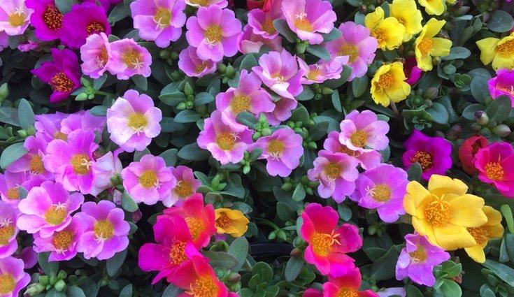 La portulaca llenará de color tu jardín