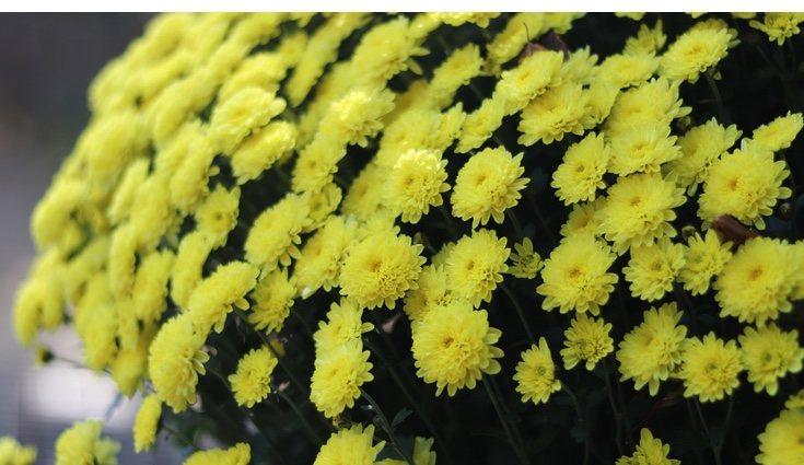 Los crisantemos son plantas que necesitan mucha luz y lugares frescos