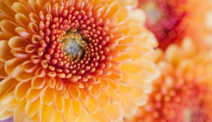 Los crisantemos pueden comprarse durante todo el año pero deben plantarse a finales de veranos o principios de otoño