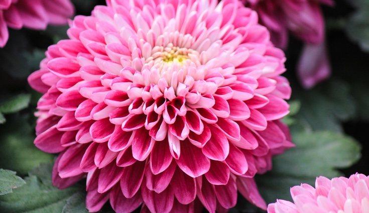 Una de las características de los crisantemos son sus vivos colores
