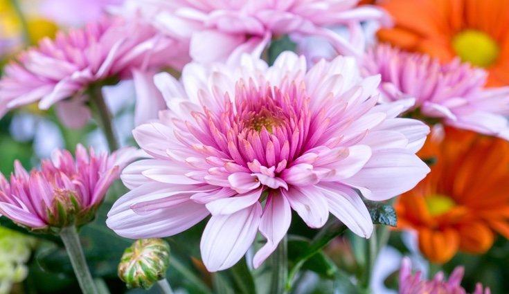 Los crisantemos necesitan cuidados para no marchitarse por exceso de luz o de humedad