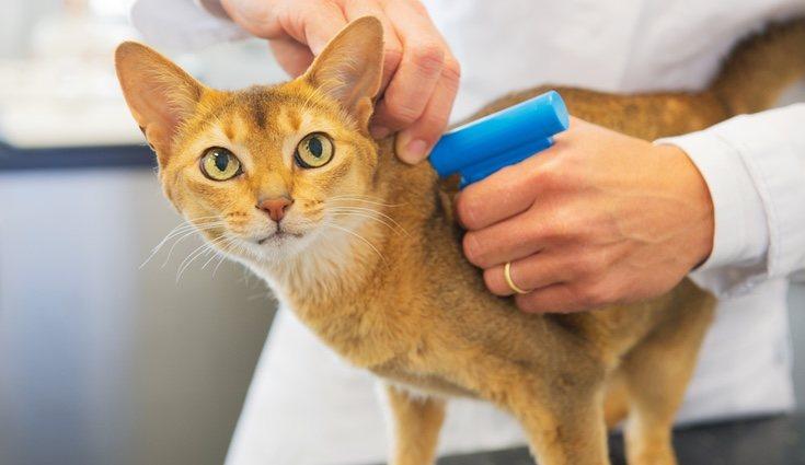 Un veterinario instalando un microchip a un gato