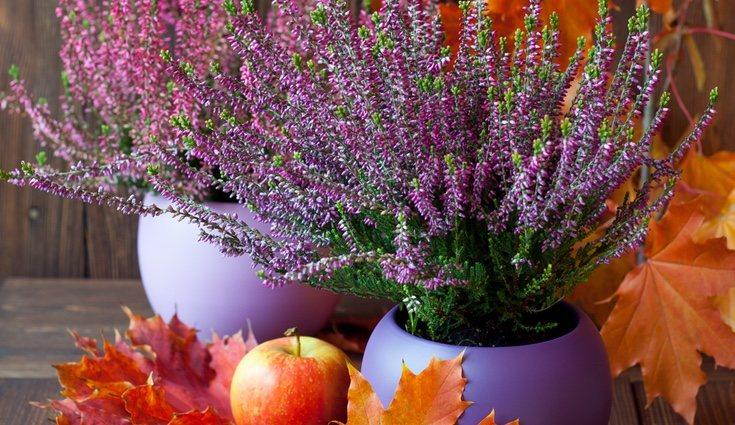 El brezo es una planta que no tolera las aguas duras y que debe podarse una vez al año