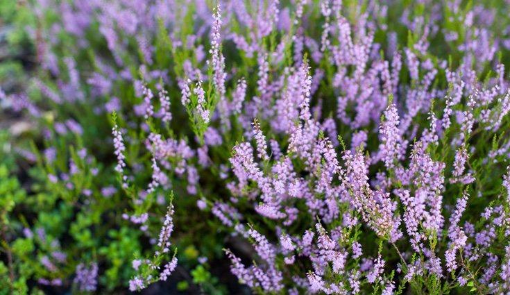 Este tipo de planta se adapta a cualquier terreno, pero lo ideal es que se encuentre en el exterior