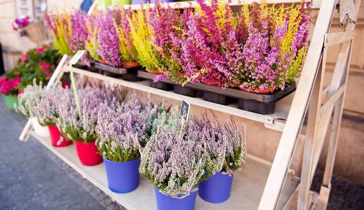 Esta planta se caracteriza por la variedad de colores que tiene, desde el blanco hasta el rojo