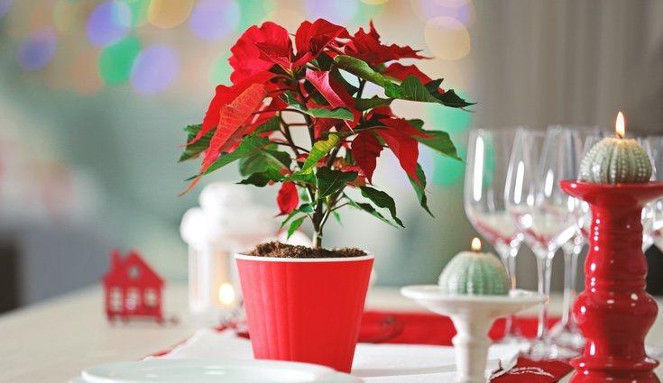 La flor de pascua ya se ha convertido en un clásico en los hogares durante navidad