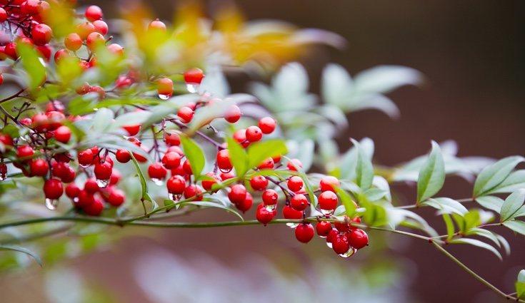 La nandina es una de las plantas de Navidad menos conocida pero, sin duda, una de las más bellas