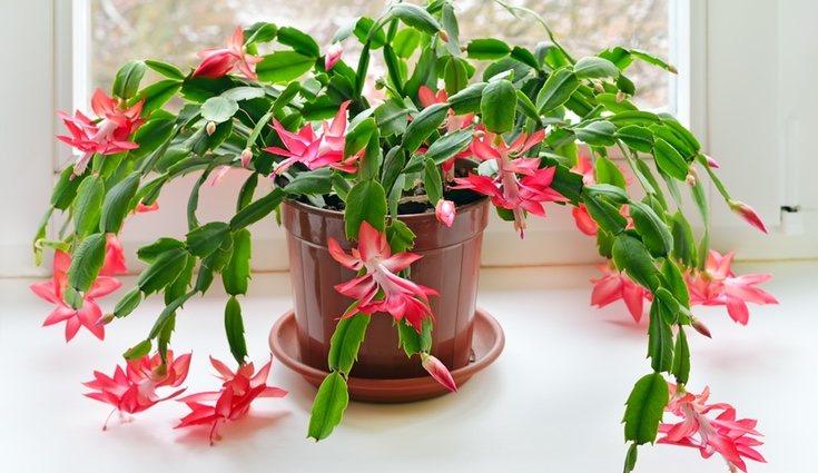 La flor de este cactus puede encontrarse en varios colores, aunque la variedad roja es la más común