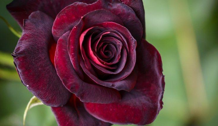 Ejemplo de rosa Baccara