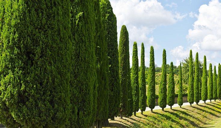 Descubre las cualidades de este maravilloso árbol