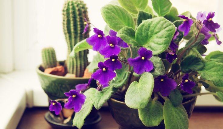 Estas flores son muy delicadas y pero perfectas para los hogares