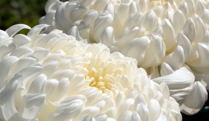 El crisantemo es más común en los entierros que en lugares alegres