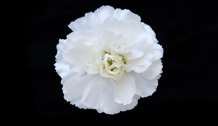 El clavel blanco es una flor del amor asociada a ala amistas y lealtad