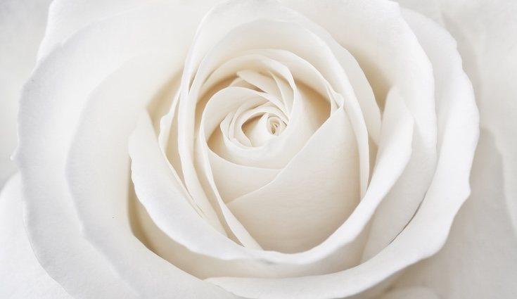 El significado de la rosa blanca es amor puro y perpetuo