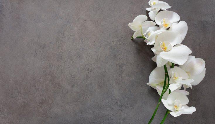 El significado de la orquídea es de belleza pura