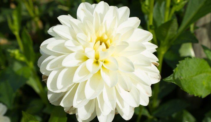 La dalia es una flor ideal para dar las gracias a un ser querido o un amigo