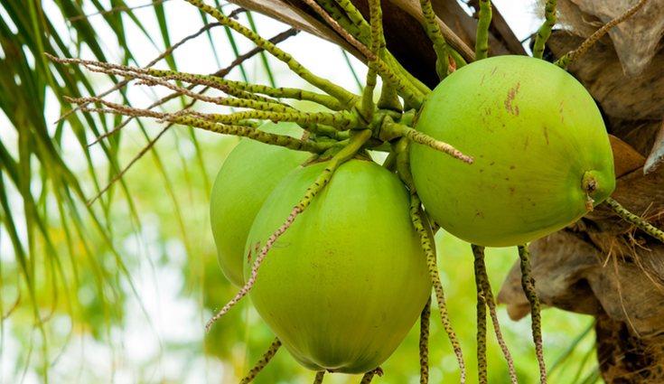 El coco proporciona alimento y bebida, por eso son llamados 'árbol de la vida'
