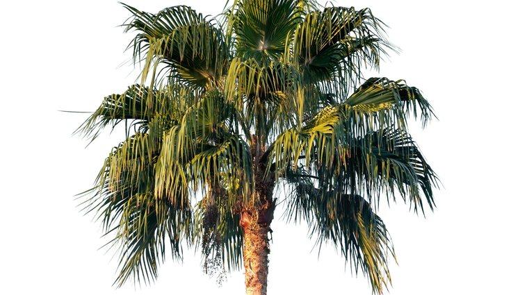Es muy común encontrar palmeras datileras en España