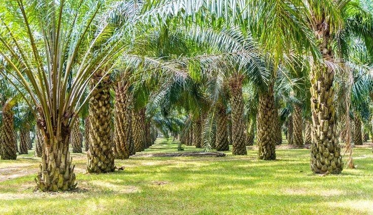Debido a las variedades en su constitución, muchas veces confundimos palmeras y otras plantas